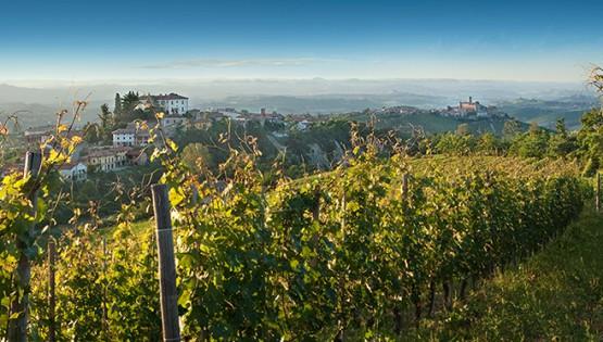 Il Barbaresco: il vitigno