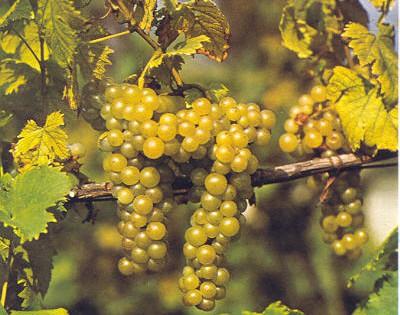 Piemonte Moscato Passito DOC