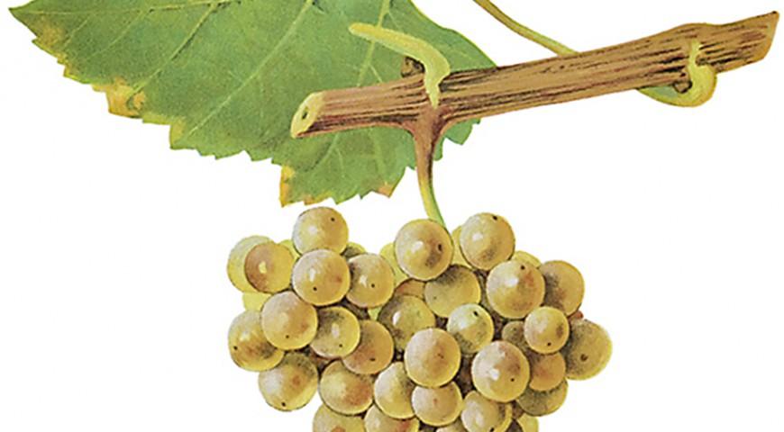 Pinot Clanc Chardonnay