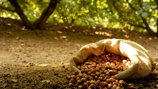 Oddities of the hazelnut-tree