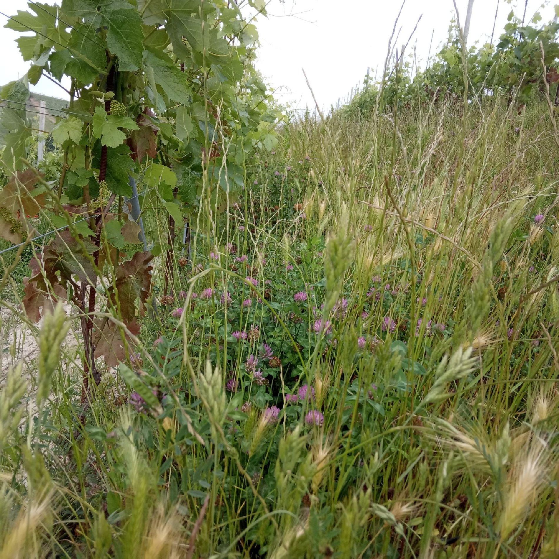 Barovero piante spontanee