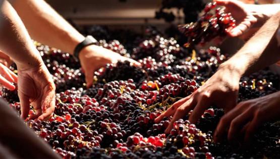 Come nasce un vino rosso: dalla vite alla tavola