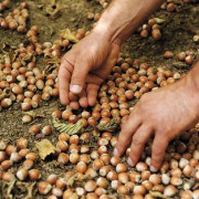 La raccolta delle nocciole