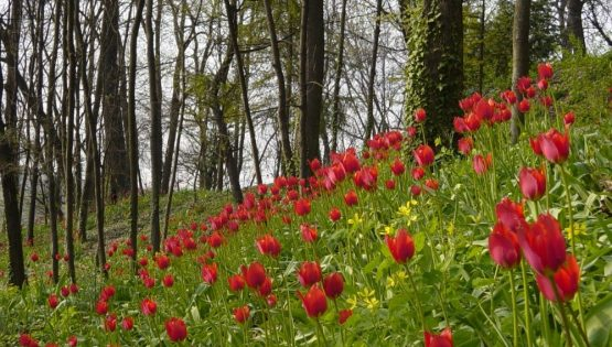 Tulipani a corte