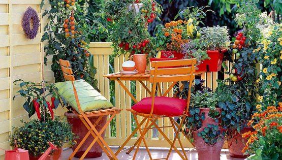 Messer tulipano: Pomodori da terrazzo
