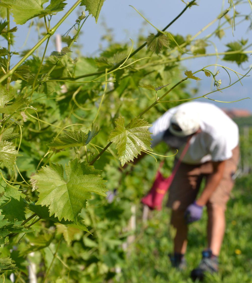 Vigneti- Azienda Agricola Runchét