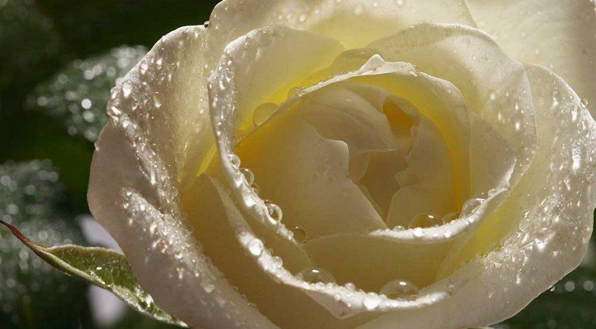 Rosa bianca - eventi