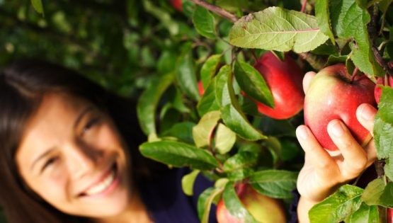 raccolta mele langhero