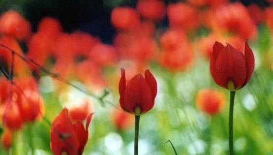 La romantica camminata dei tulipani