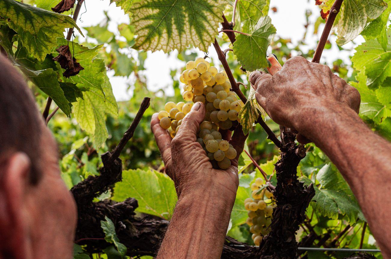 Rusel - Vendemmia Chardonnay