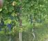 Le Strette Vini - Nebbiolo Bergera