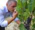 Le Strette Vini - Savio Daniele prima della vendemmia manuale