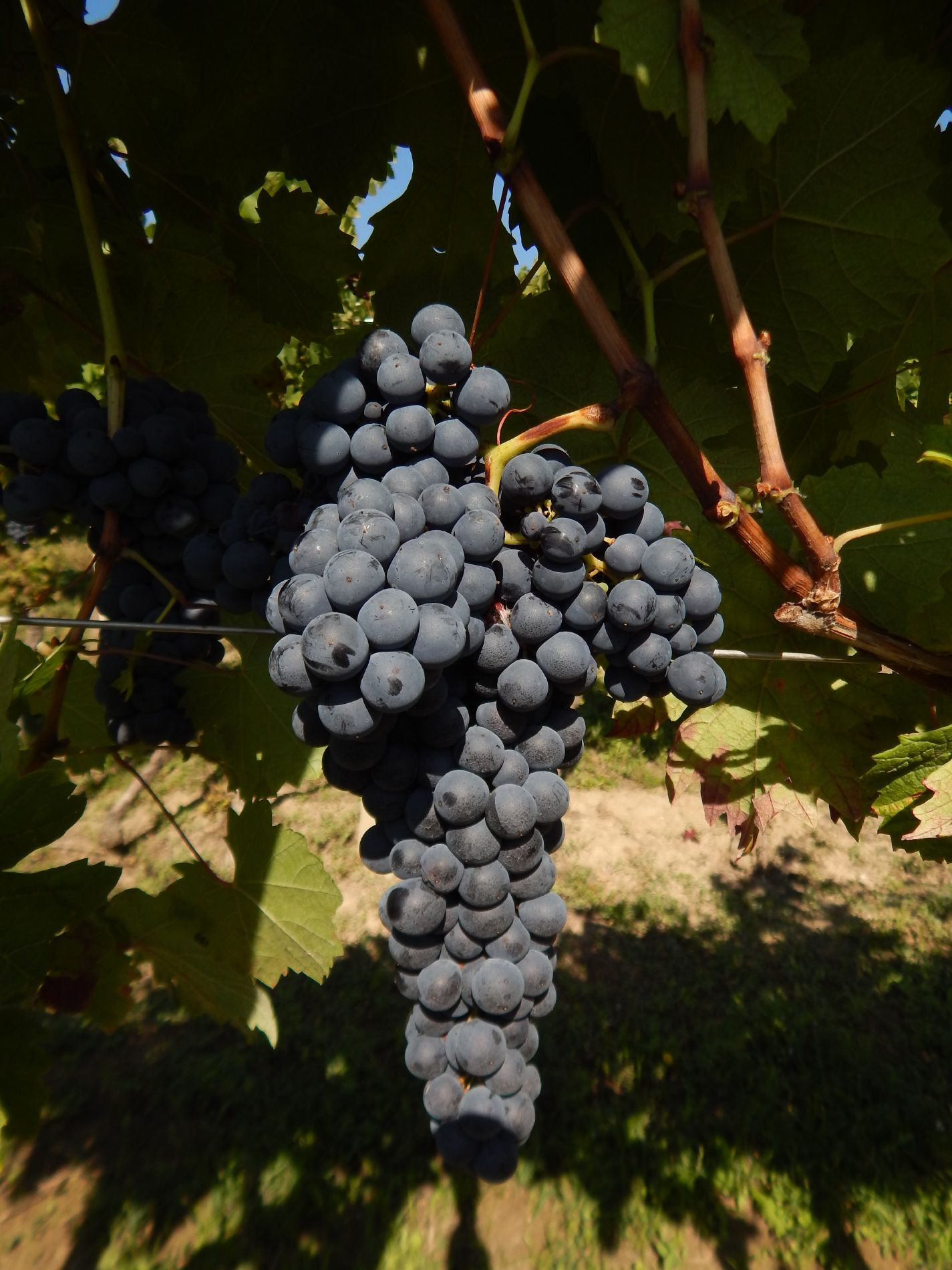 Macario Vini - uva appesa