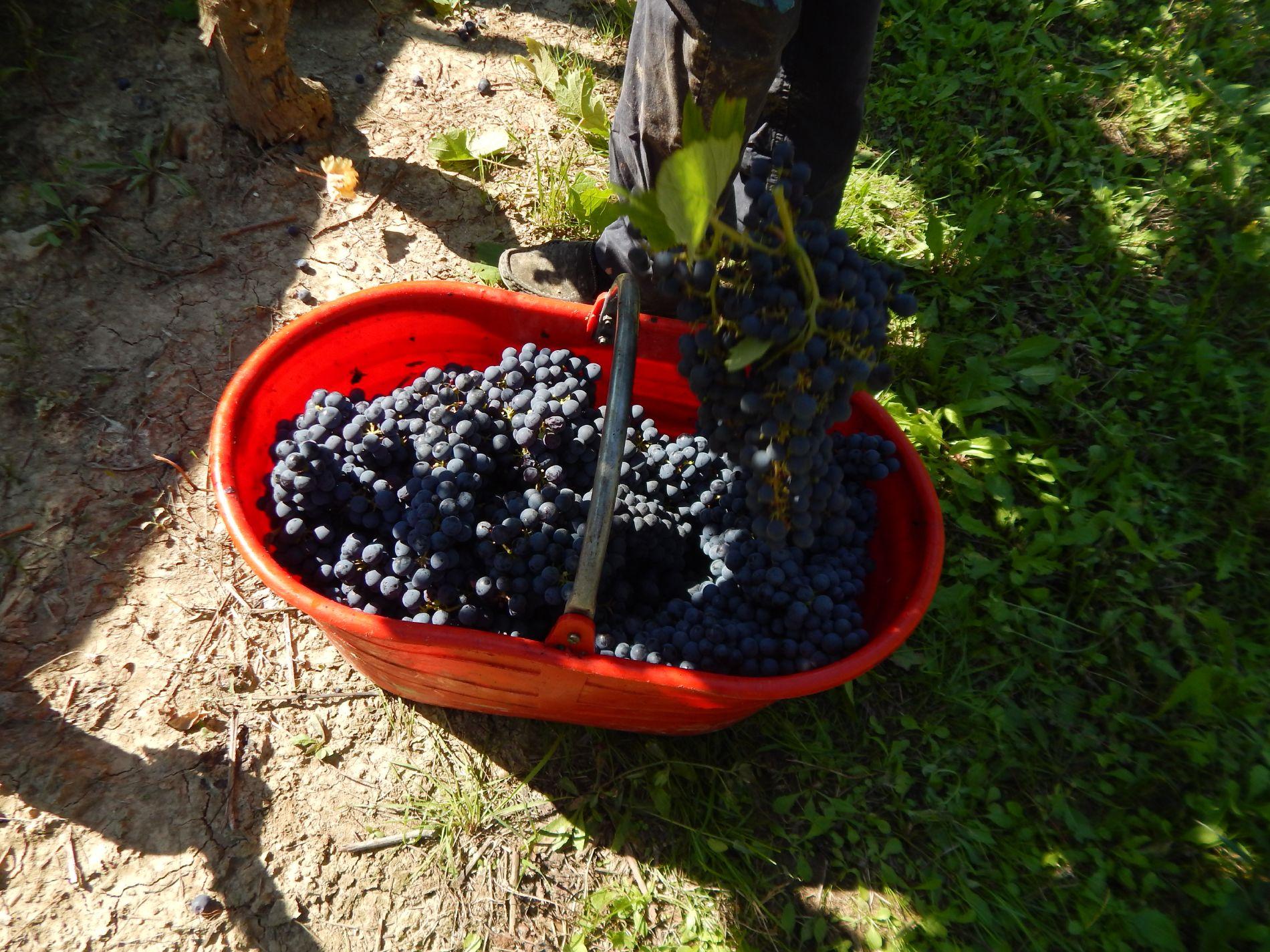 Macario Vini - uva raccolta