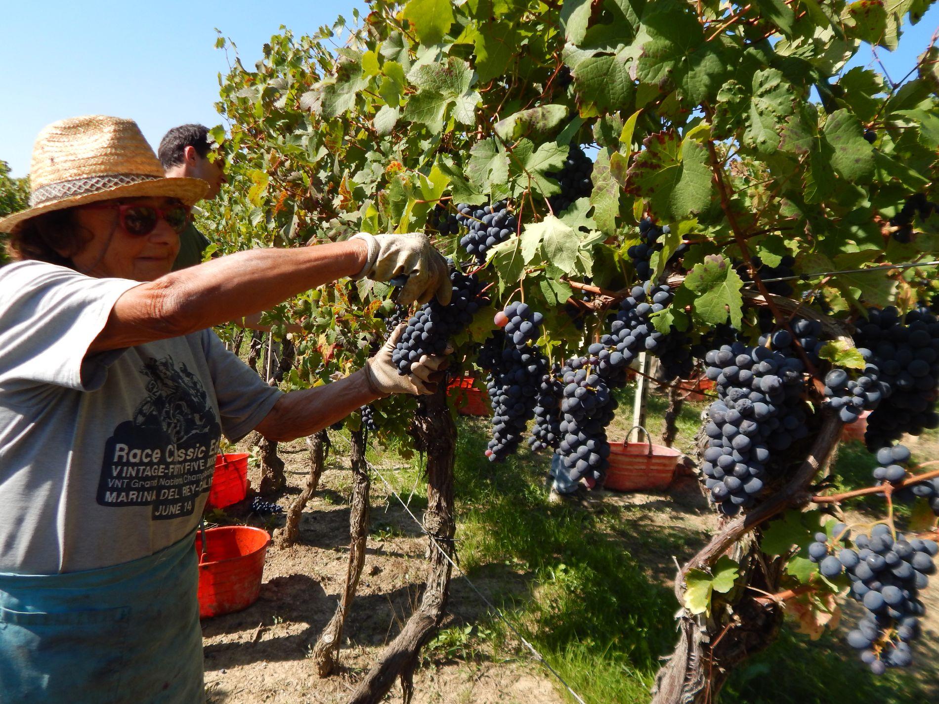 Macario Vini - vendemmia manuale