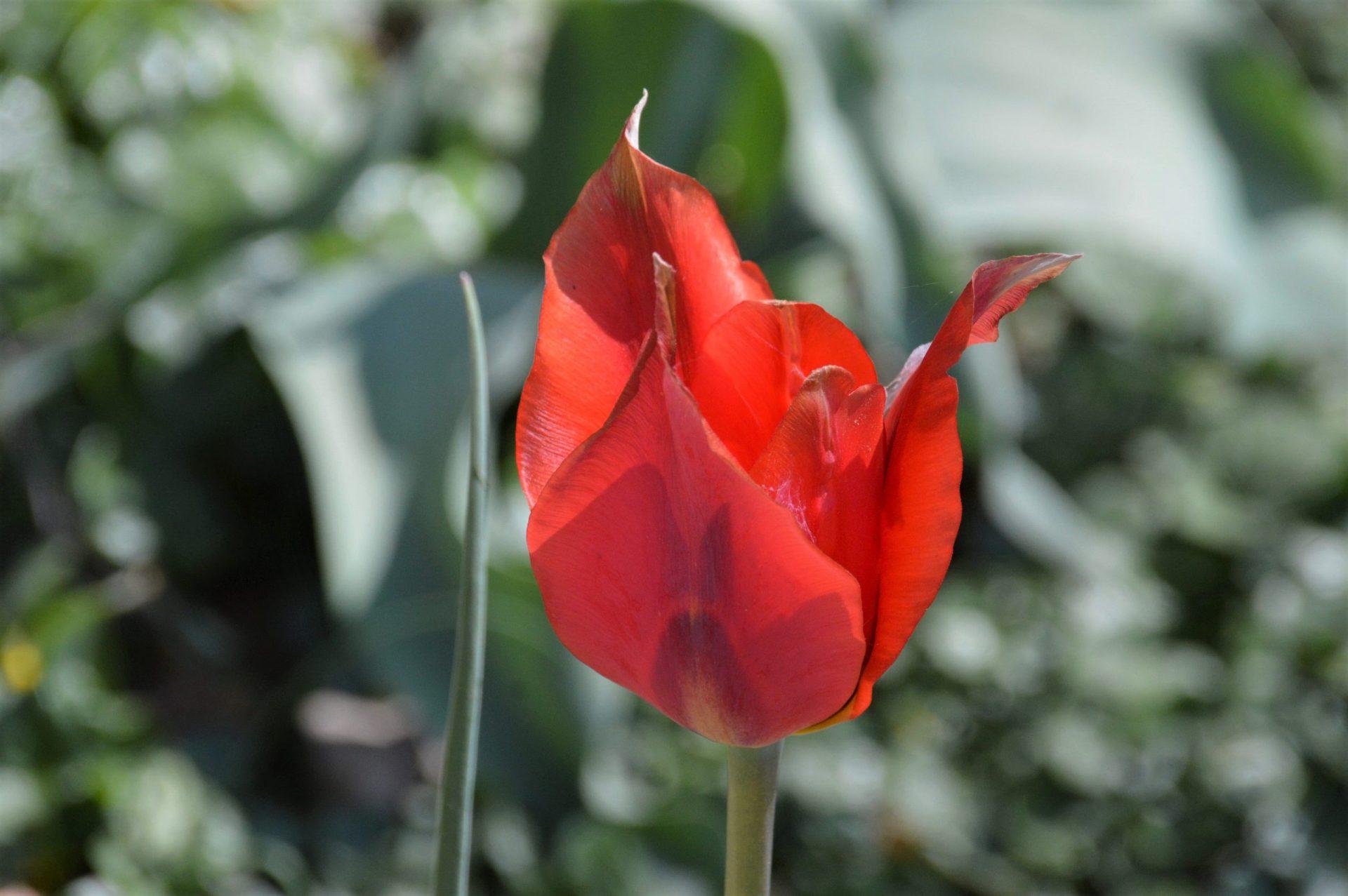 Il Sentiero dei Castelli e i tulipani a corte